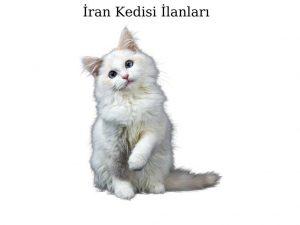 İran Kedisi İlanları